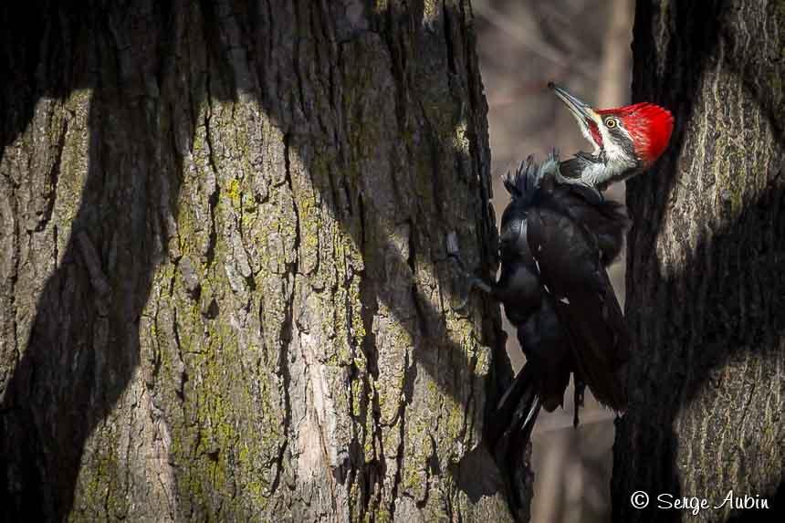 SergeAubin.ca-oiseaux-9811.jpg